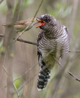Cannaiola (Acrocephalus scirpaceus) che alimenta un pullo di cuculo